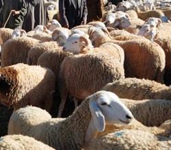 Comment bien choisir son mouton