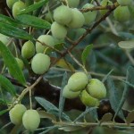 olive conserve