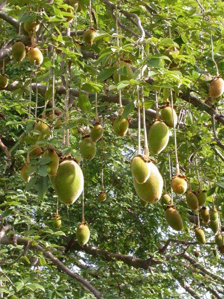 Ce fruit merveilleux aux vertus très prometteurs est maintenant autorisé en vente en Europe. C'est le fruit de l'arbre baobab nommé également pain de singe. Ce nom vient sûrement du […]