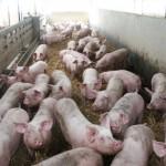 porc islam interdit
